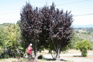 Thinning overcrowded tree populations on your property improves their health and resilience. Photo: Strictly Trees (2013)