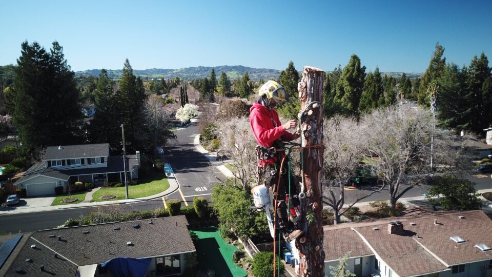 tree being removed by professional tree service technician